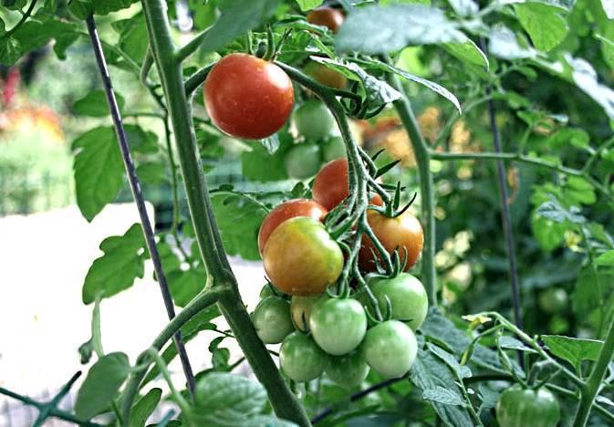 Применение нитрофоски в качестве удобрения для помидор: методы использования