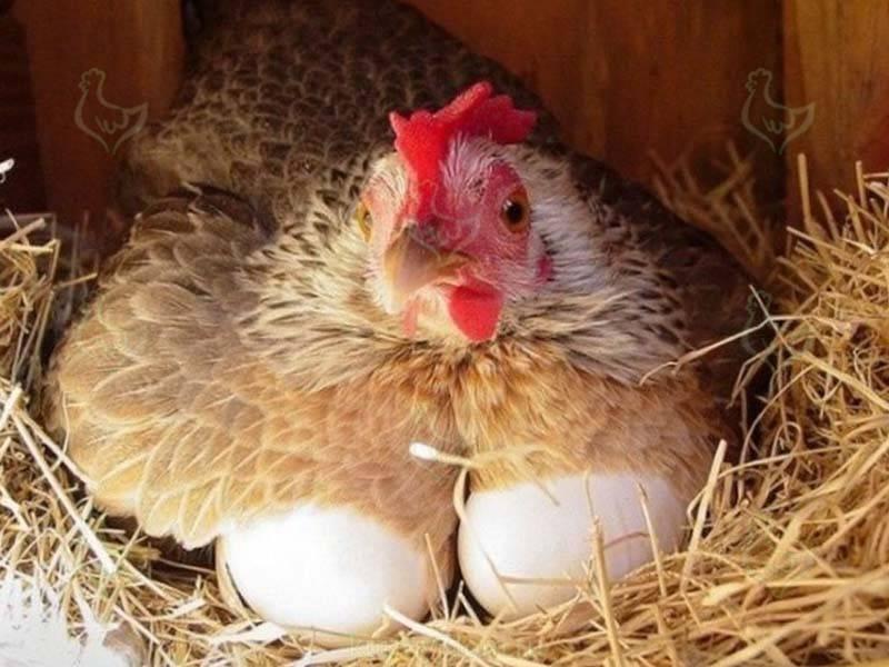 Можно ли заставить кур лучше нестись? способы увеличения яйценоскости и факторы, влияющие на их продуктивность