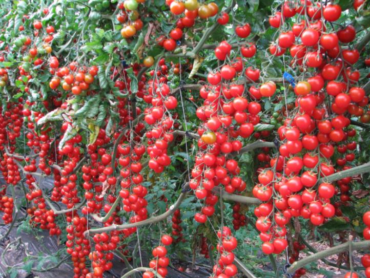 Рейтинг сортов и гибридов томатов черри, которые я выращивала. описание. фото — ботаничка.ru