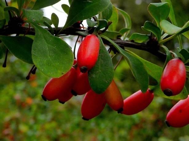Декоративный кустарник барбарис: как посадить и ухаживать, какие сорта выбрать