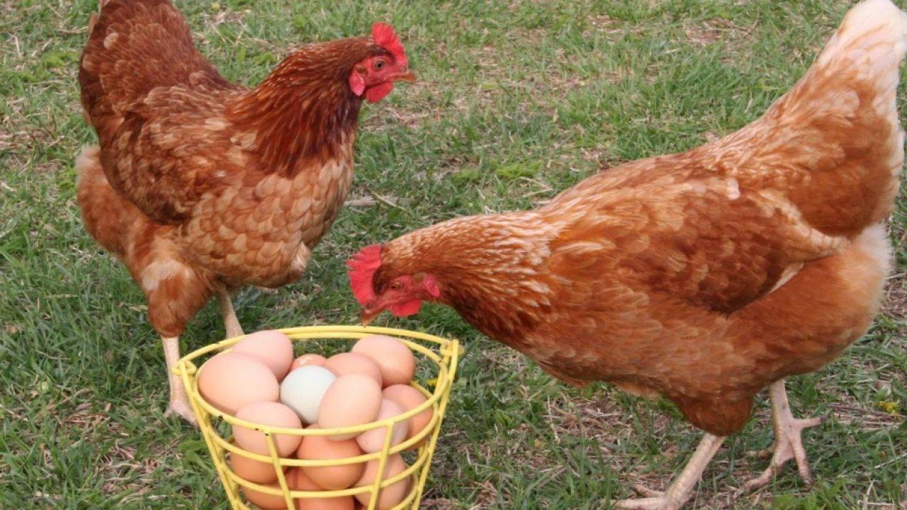 Как и чем кормить кур-несушек чтобы они хорошо неслись