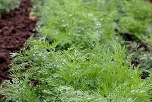 Выращивание петрушки из семян и рассадой