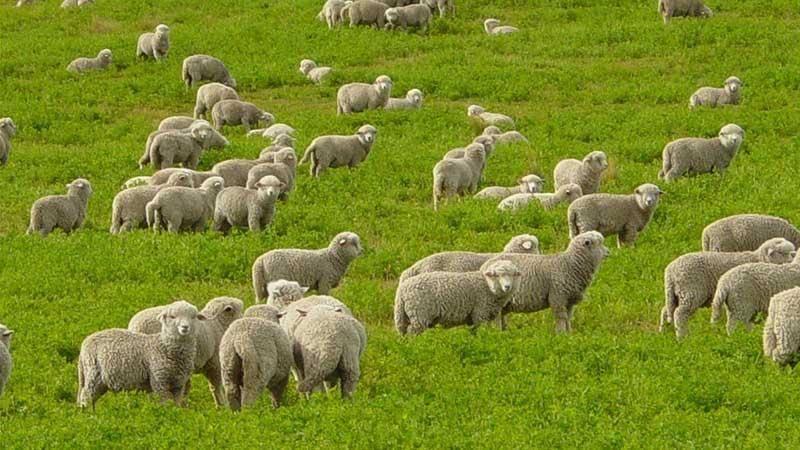 Овцеводство как бизнес для начинающего фермера в россии