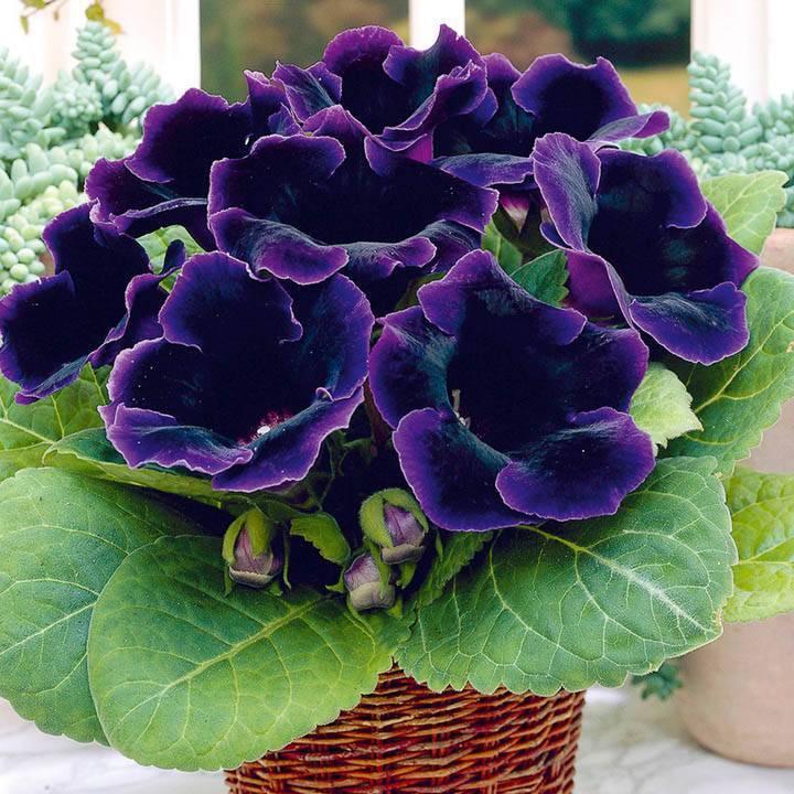 О выращивании глоксинии, размножение дома из семян, укоренение листов