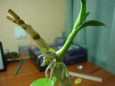 Как вырастить орхидею из цветоноса: видео о том, можно ли получить детку в домашних условиях