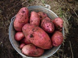 Картофель сорта родриго - характеристики и свойста