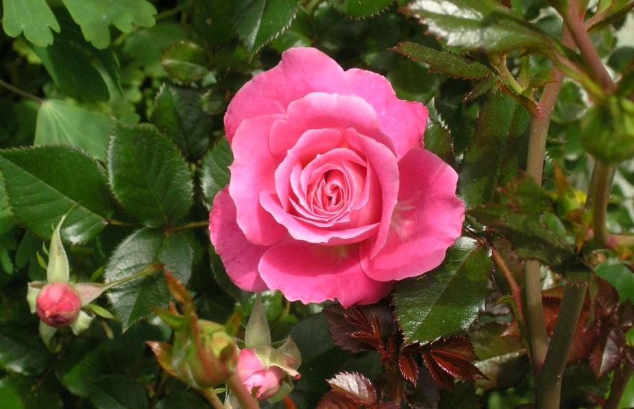 Чем подкормить розы весной — способы и правила подкормки после зимы для пышного цветения