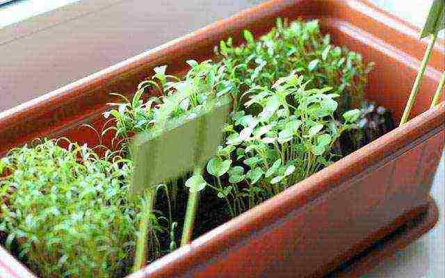 Особенности выращивания свежей зелени на подоконнике