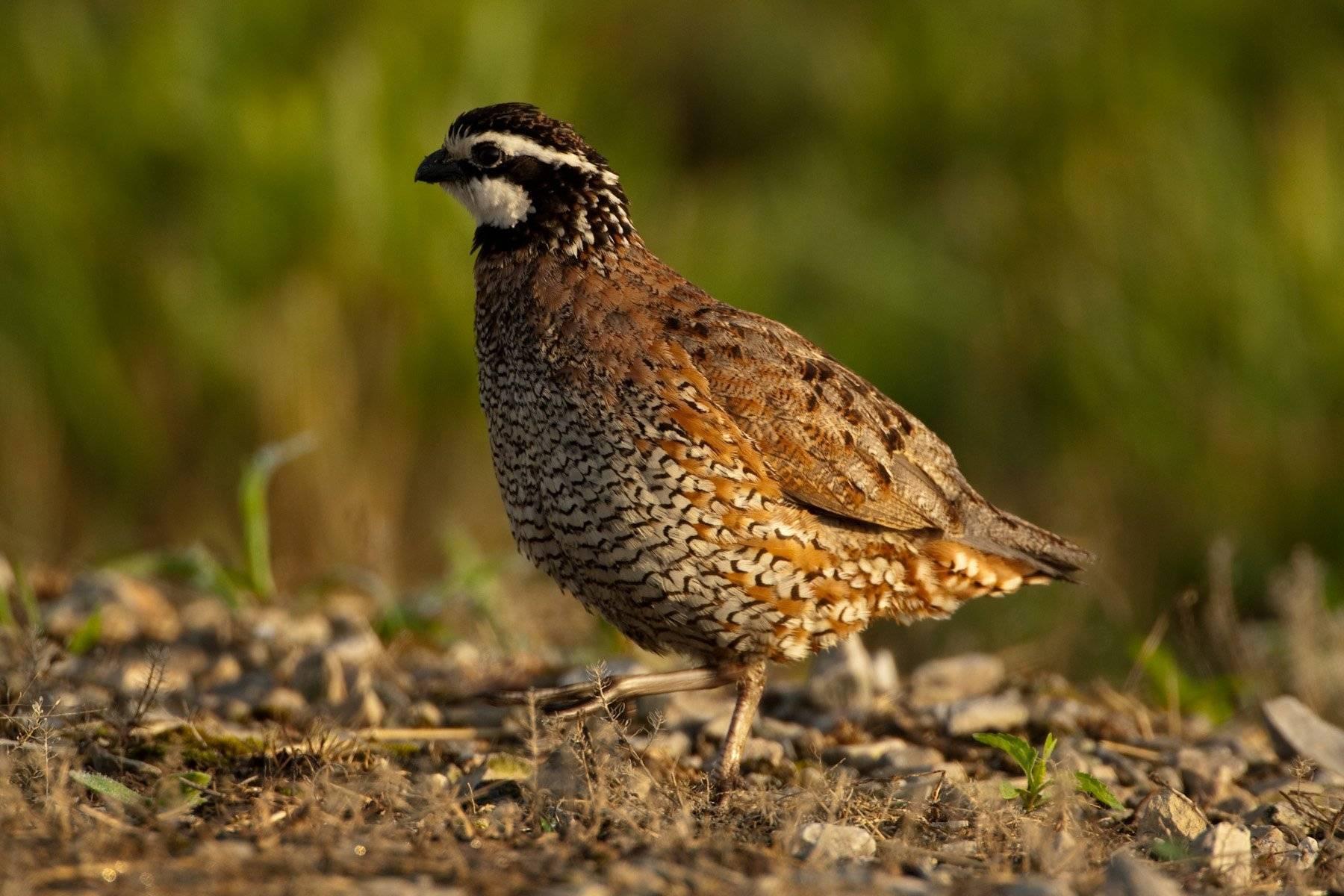 Перепёлка птица. описание, особенности, виды, образ жизни и среда обитания перепёлки | живность.ру