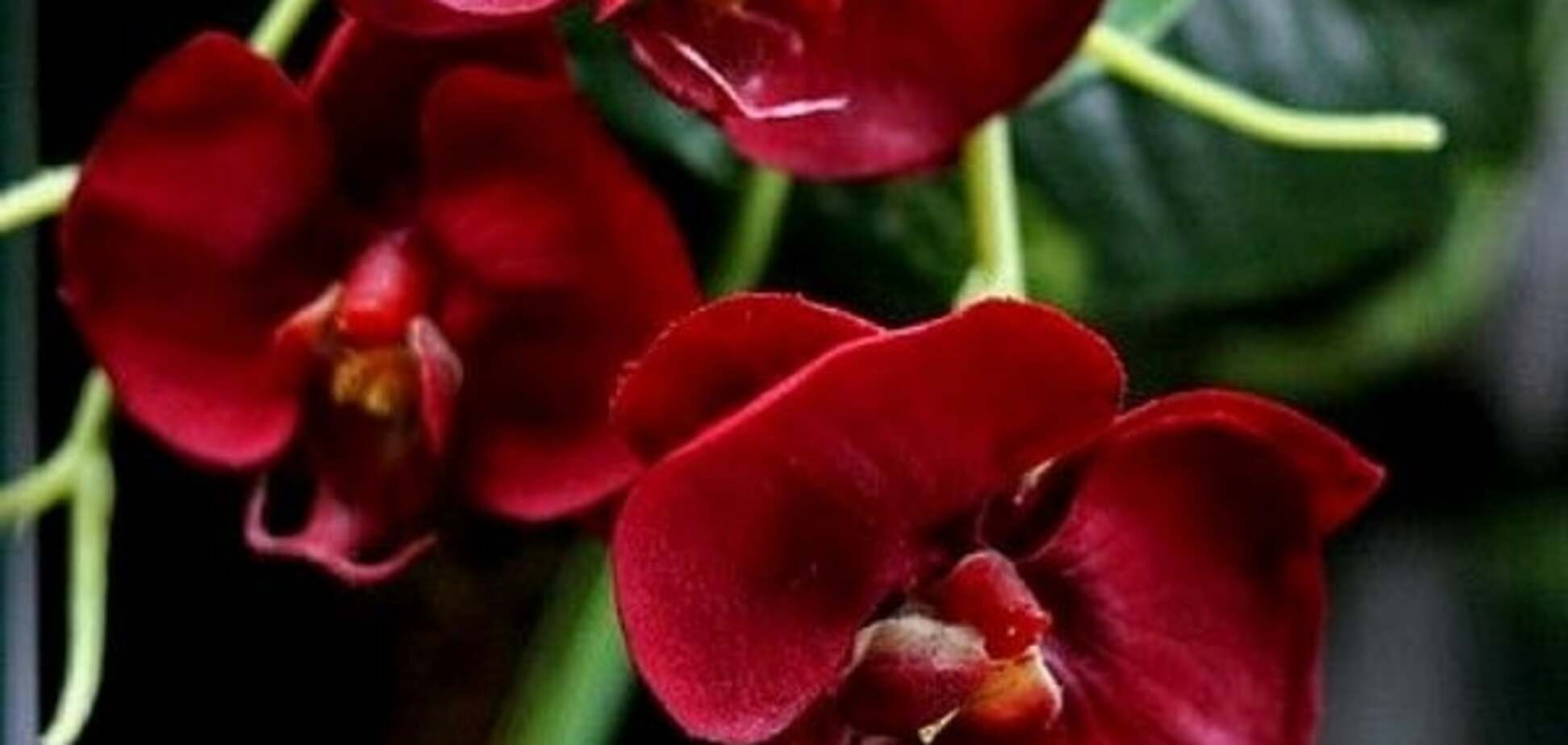 Вредители и болезни орхидеи фаленопсис