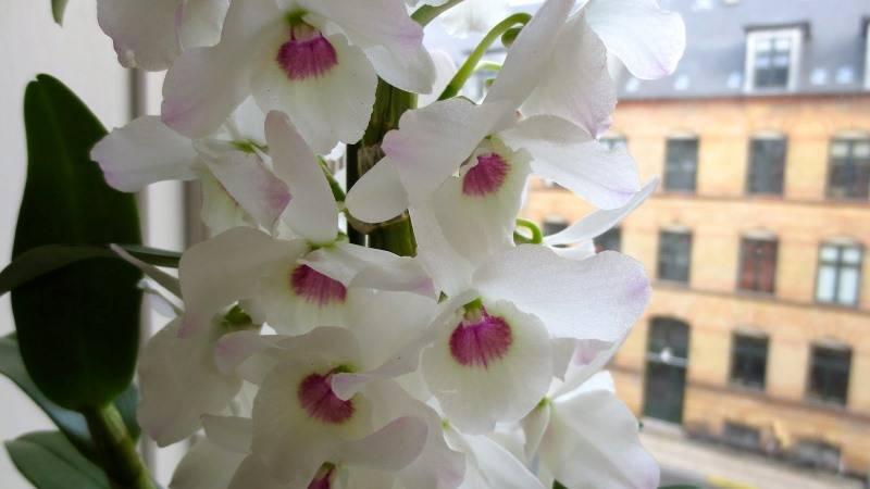 Орхидея дендробиум: описание и фото видов и сортов с их названиями (в т.ч. аполлон, микс и синяя) и отзывами, а также видео об уходе в домашних условиях