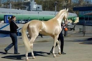 Изабелловая масть лошади: или кремовая, фото, описание, история и характеристика