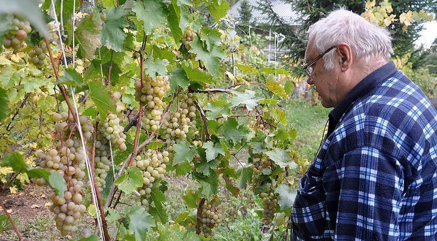 Выращивание винограда в подмосковье – 3 условия, подборка сортов и возделывание