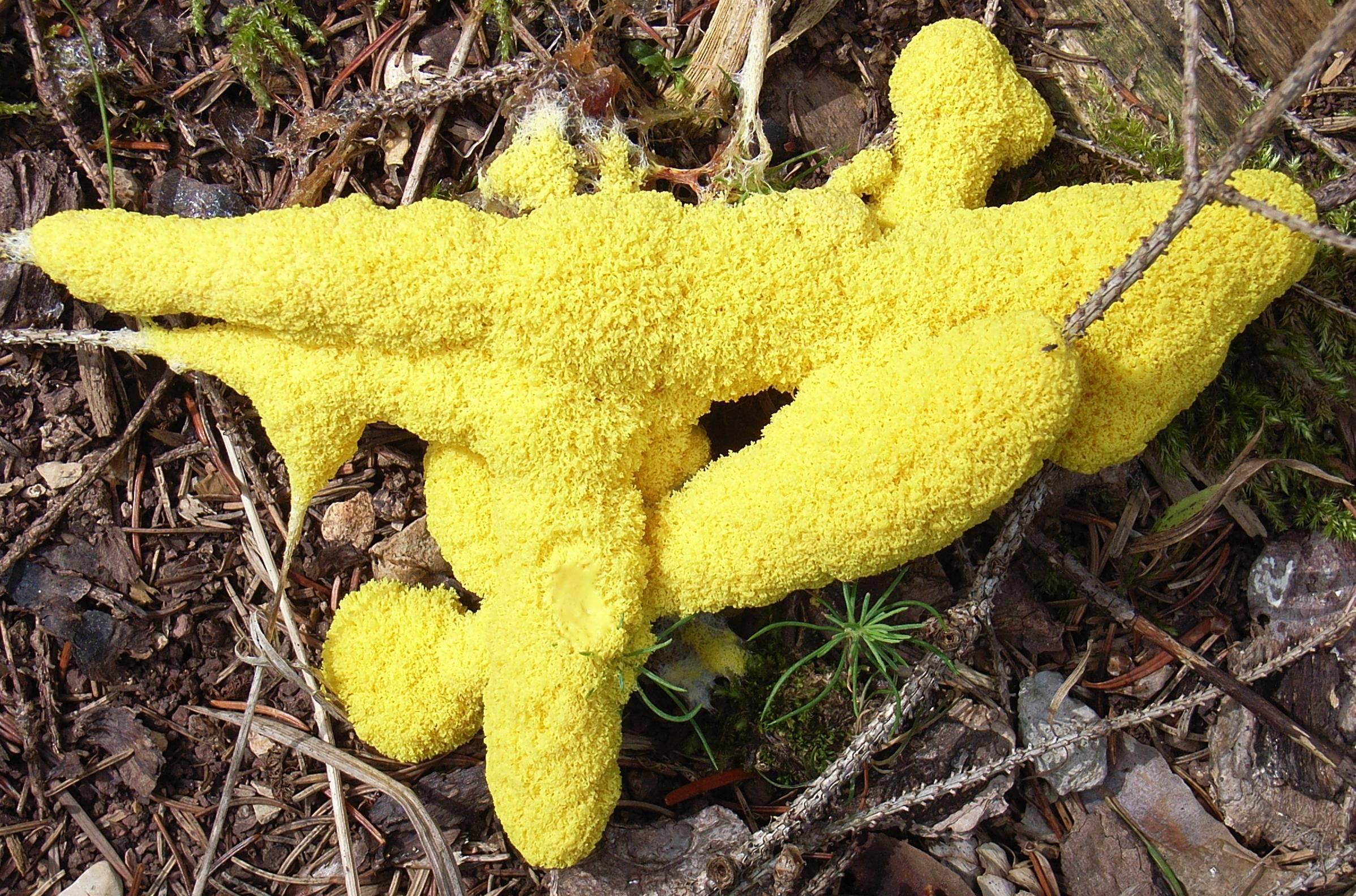 Описание гриба Слизевика