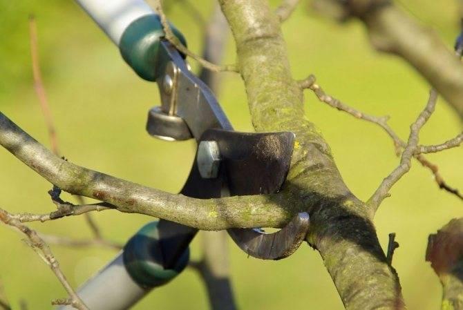Особенности обрезки сливы: как правильно обрезать сливу осенью