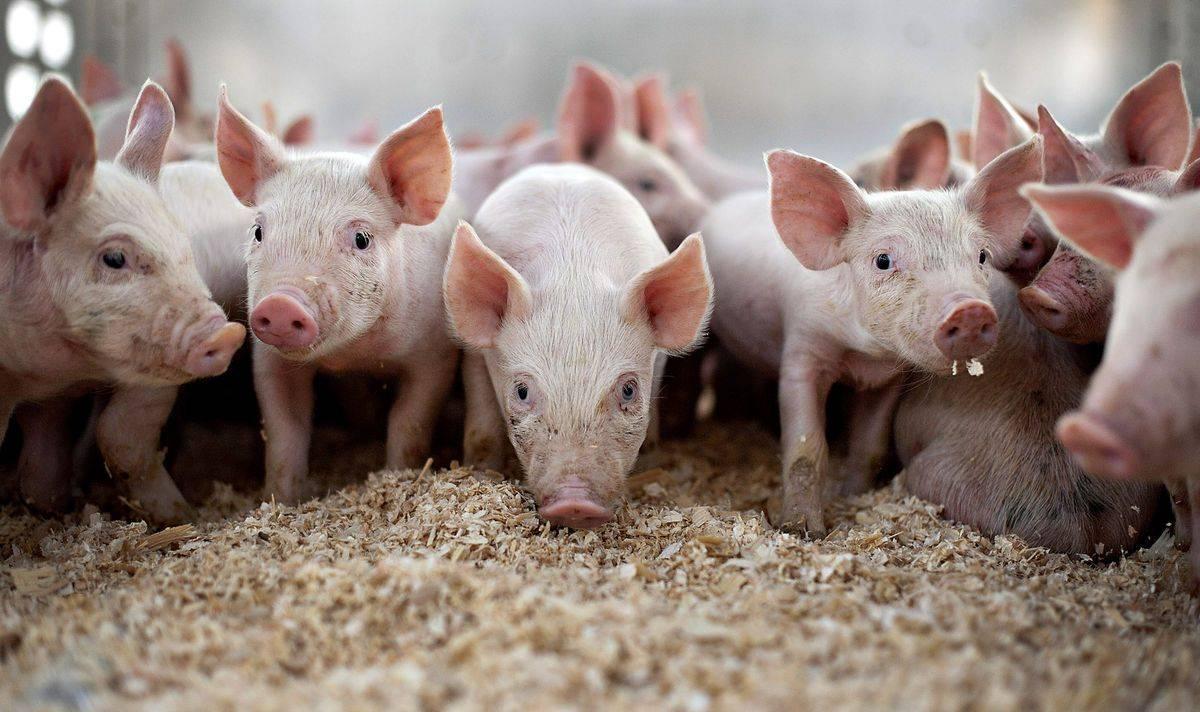 Витамины и минералы для поросят — обзор добавок и препаратов для роста свинок