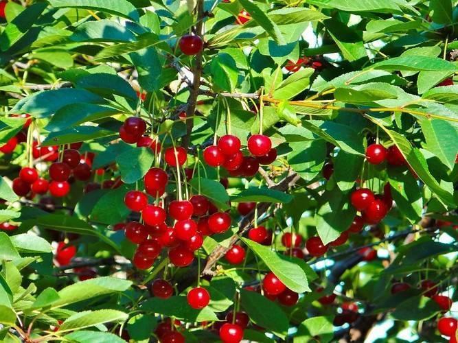 Болезни вишни и их лечение: способы борьбы с вредителями, чем обработать листья