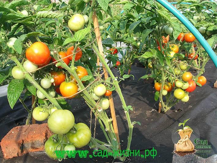 Уход за томатами после высадки рассады в открытый грунт в 2020 году: когда и как ухаживать по лунному календарю, фото