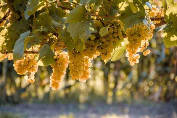 Пересаживаем виноград на новое место правильно