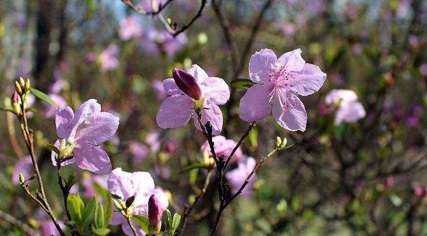 Рододендрон в саду — особенности размножения с помощью черенков