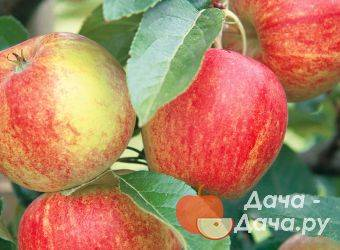 Характеристика яблони приземленная: описание фото