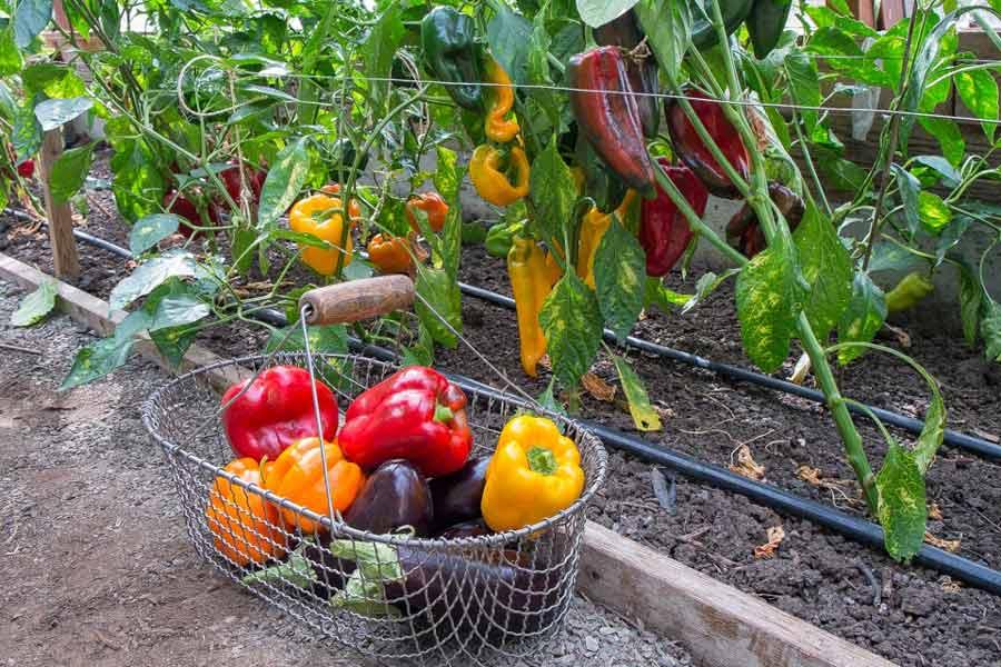 Выращивание сладкого перца в теплице из поликарбоната: как вырастить овощ правильно? русский фермер