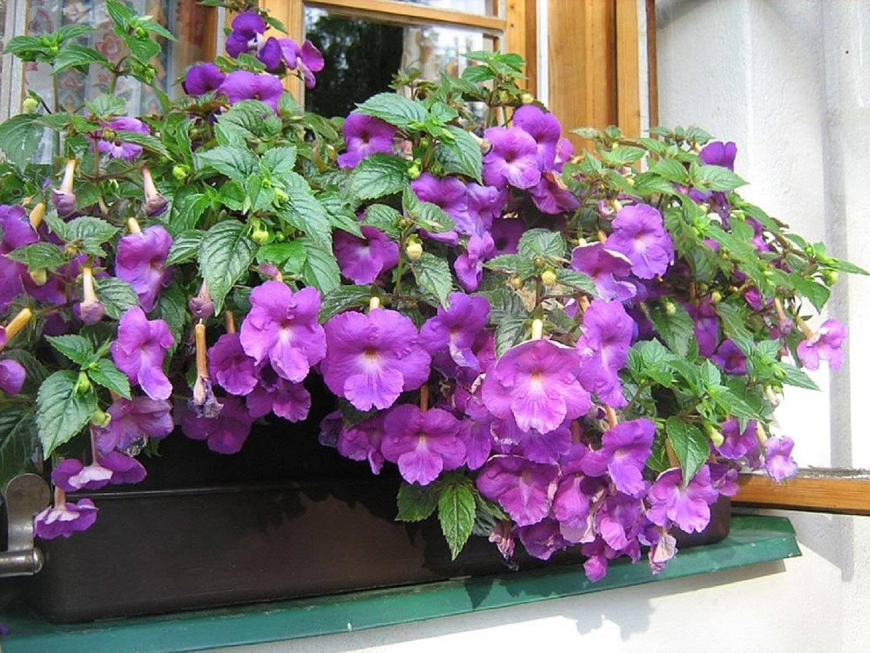 Цветок «Ахименес»: фото, уход и выращивание в домашних условиях