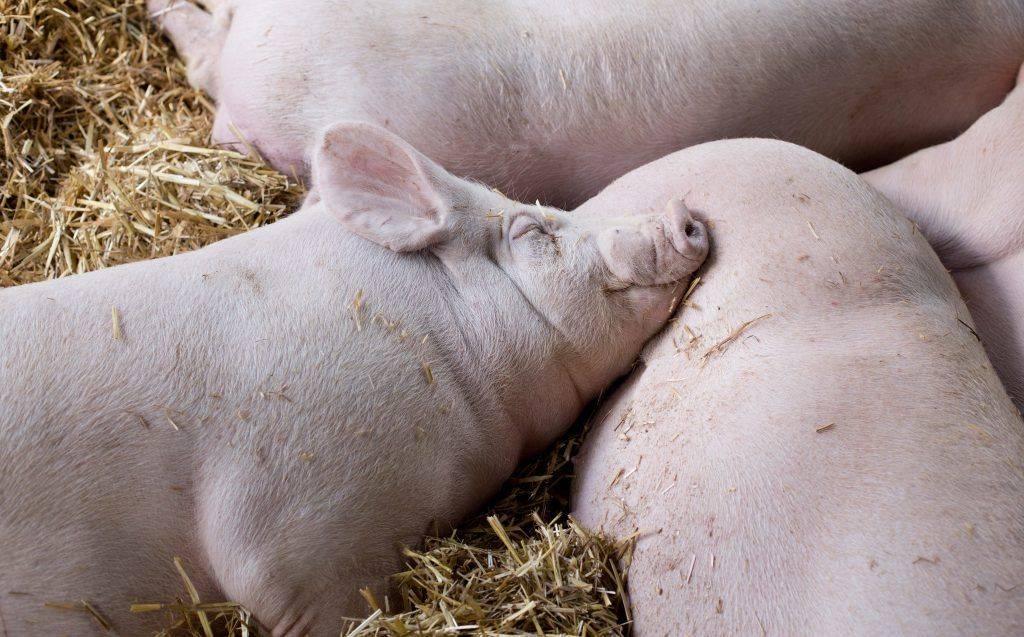 Крупные породы свиней: описание, фото. крупная белая, украинская степная белая, миргородская, дюрок, вьетнамская вислобрюхая, ландрас