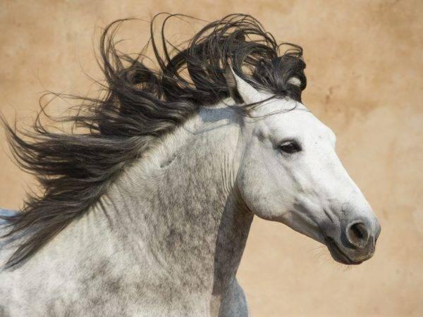 Андалузская лошадь: характер, масти, фото