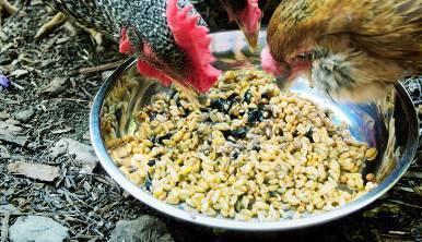 Комбикорм для кур несушек, бройлеров и цыплят и какой лучше