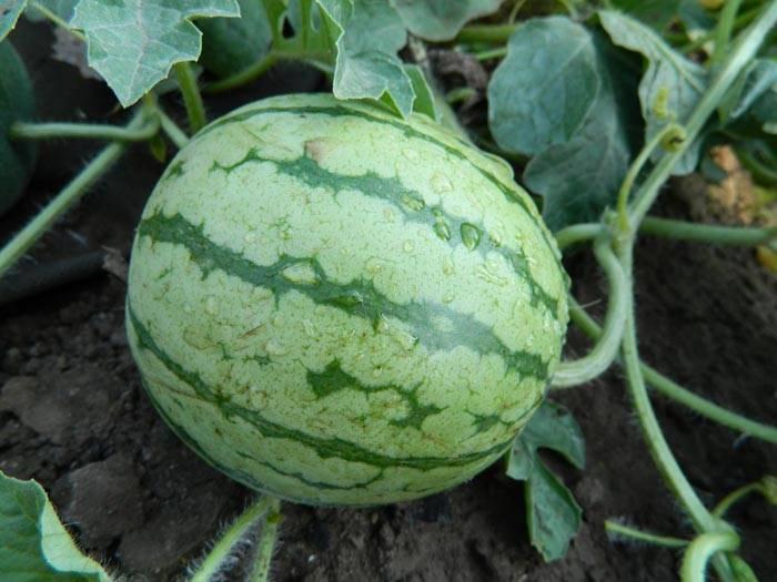 Выращивание арбузов на урале в открытом грунте и теплице: лучшие сорта, особенности посадки и ухода