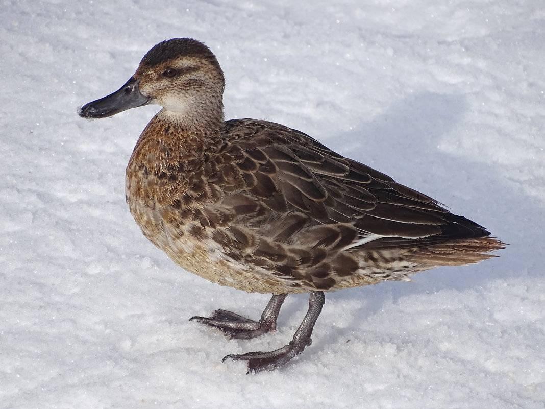 Дикие утки: виды, описание, отличительные черты селезней с фото