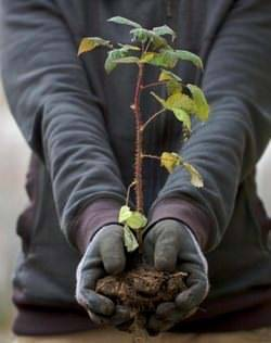 Пересадка малины осенью и весной на новое место, видео и фото