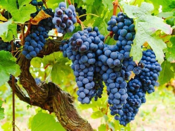 Правила обрезки винограда Изабелла осенью, посадка, уход