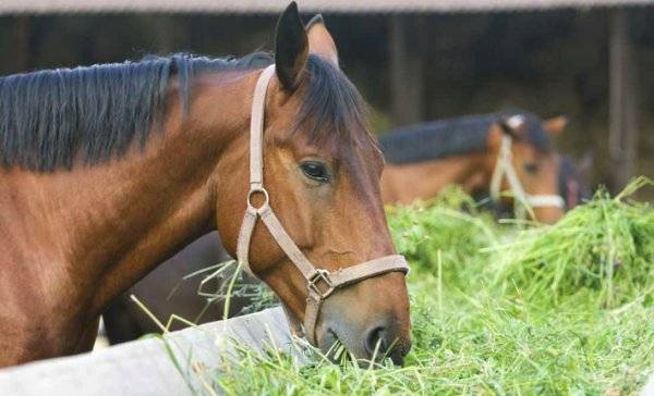 Арденская тяжеловозная порода лошадей: история и характеристика арденов