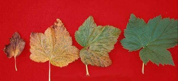 Что делать если желтеют листья на черной смородине