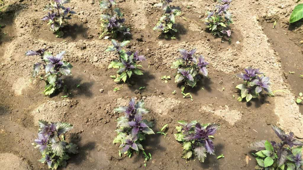 Базилик: выращивание из семян, посадка в открытый грунт, свойства базилика