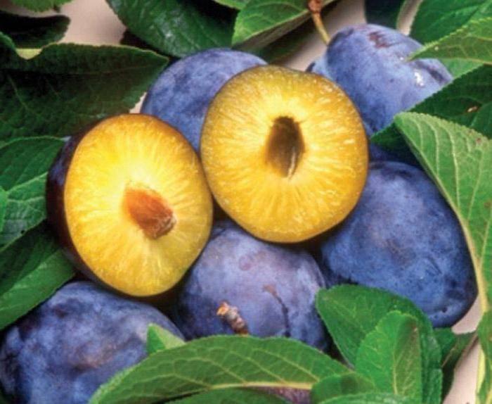 Слива синяя яичная — описание сорта, фото, отзывы садоводов