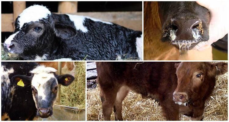 Симптомы и лечение беломышечной болезни у молодняка (козлят, ягнят, телят и поросят)