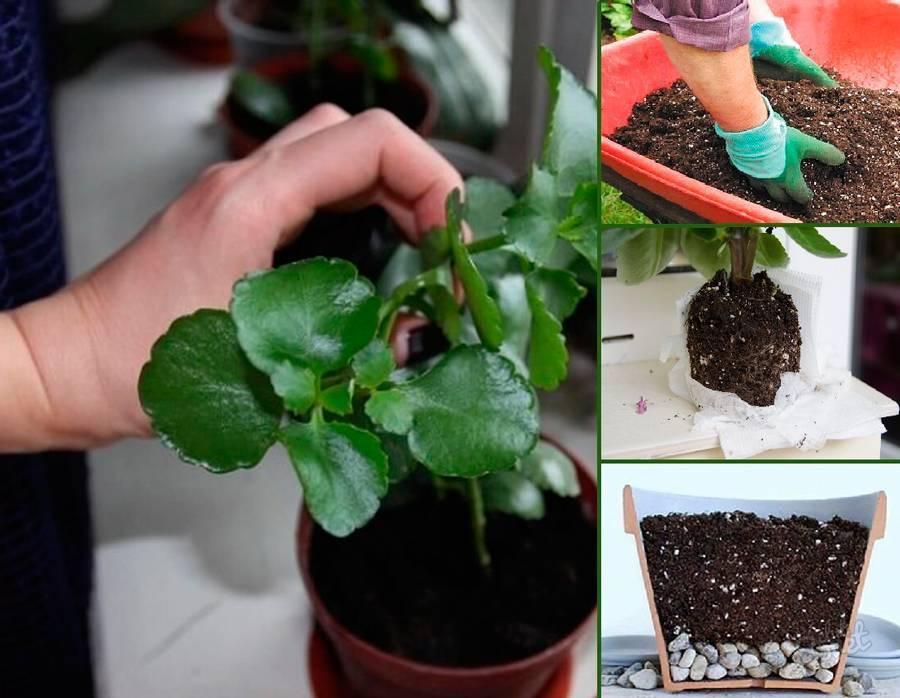 Каланхоэ мангина: описание растения и правила содержание дома | огородники