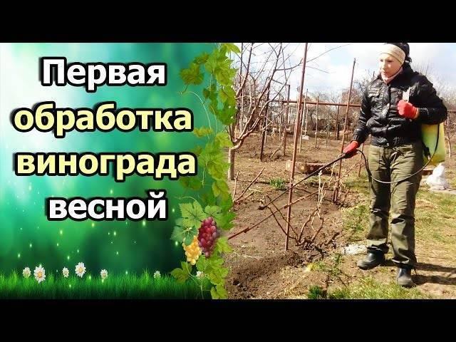 Как и когда открывать виноград после зимы? весной