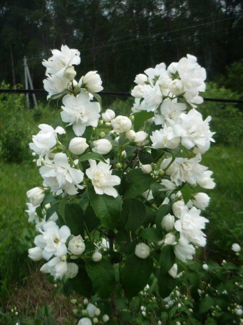Чубушник венечный (45 фото): описание чубушника обыкновенного, «ауреус» и другие сорта, уход после цветения