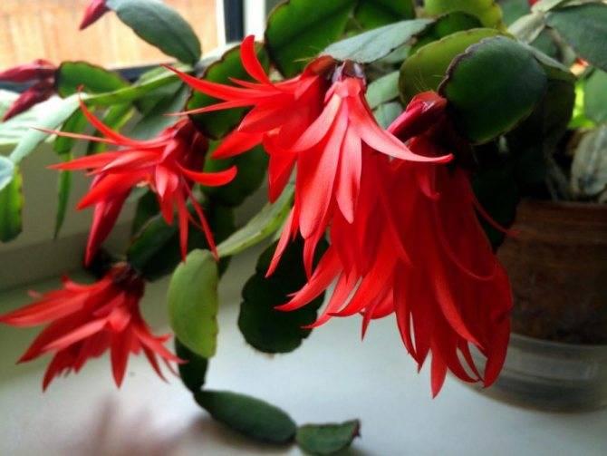 Что делать, если не цветет декабрист? почему он не зацвел? что нужно сделать, чтобы заставить его цвести в домашних условиях? как ухаживать за цветком?