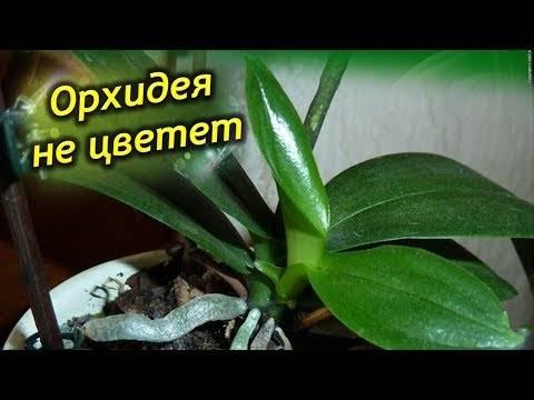 Почему орхидея не цветет, а растут только листья и корни: ошибки ухода и методы стимулирования
