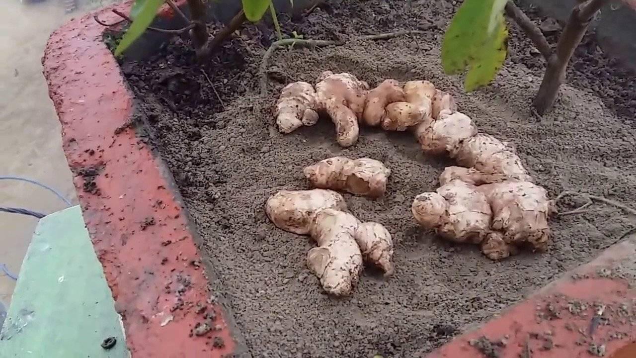 Выращивание имбиря в домашних условиях из корнеклубня: как посадить, цветение