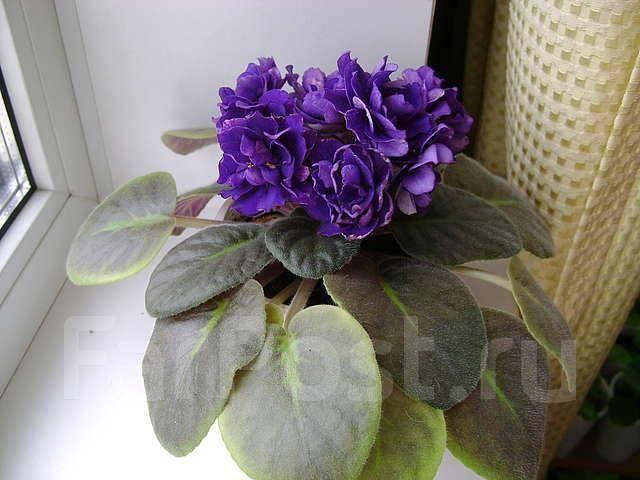 Фиалка «черная жемчужина»: описание сорта, особенности посадки и ухода - всё о цветах