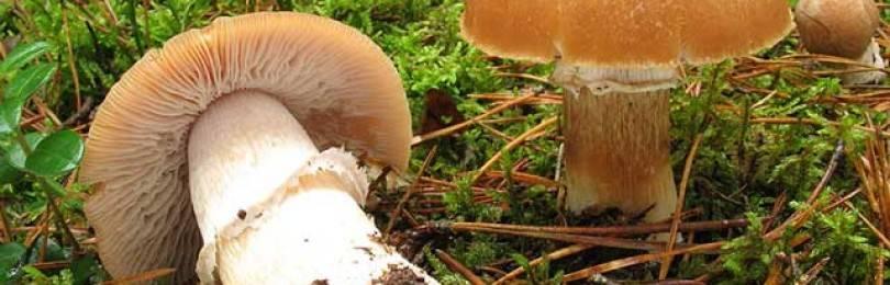 Курочка, петушки, гриб цыпленок — а вы знаете об этих грибах?