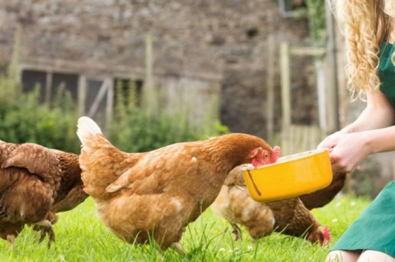 Можно ли кормить кур несушек хлебом: советы и рекомендации от фермеров
