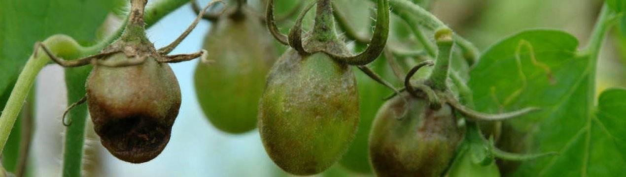 Как и чем обработать помидоры в теплице от фитофторы: эффективные препараты и народные средства