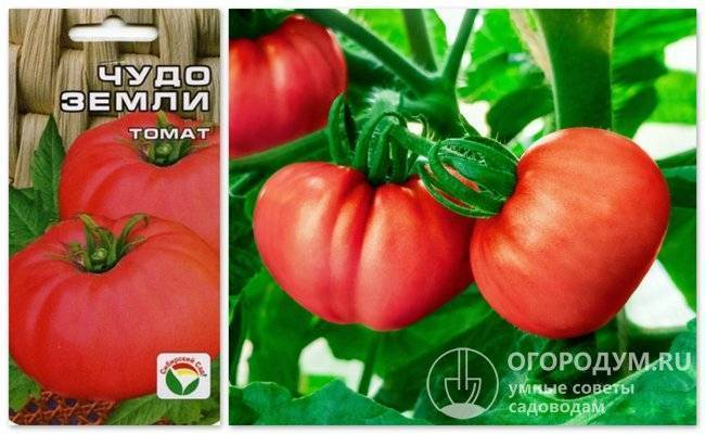 Чудо земли томат: описание, выращивание, уход, фото